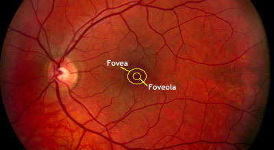 Fovea and foveola in retinal fundus