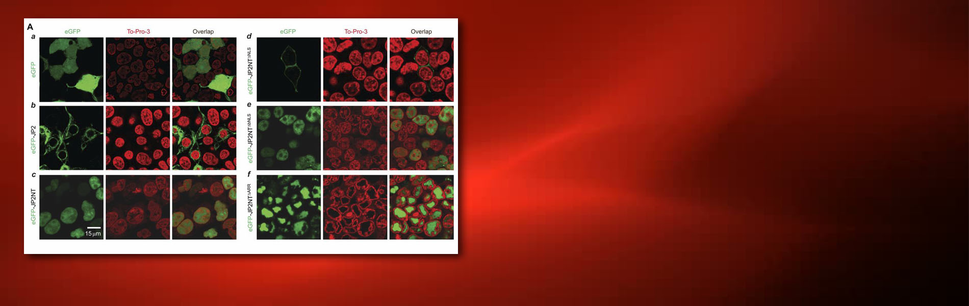 Banner: Failing heart cells trigger self-protection mechanism