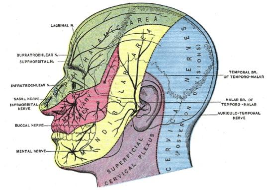 Cranial Nerve Anatomy Cranial Nerves Iowa Head And Neck Protocols