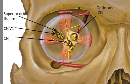 Cranial Nerve Anatomy / Cranial nerves | Iowa Head and Neck Protocols