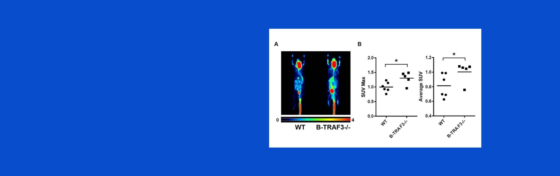Gail Bishop -  In vivo glucose uptake by WT and B-Traf3-/- mice