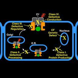 Classification scheme describes how CFTR mutations disrupt function