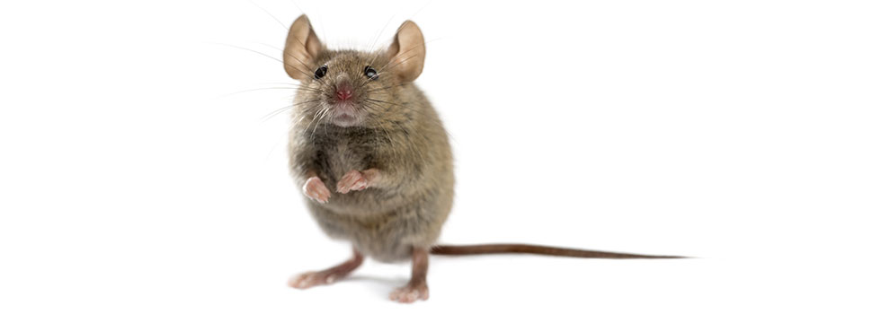 Mouse from stock